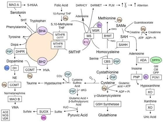 The Methylation Pathways,